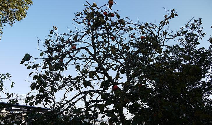 残っていた柿を収穫した。2013年2.jpg