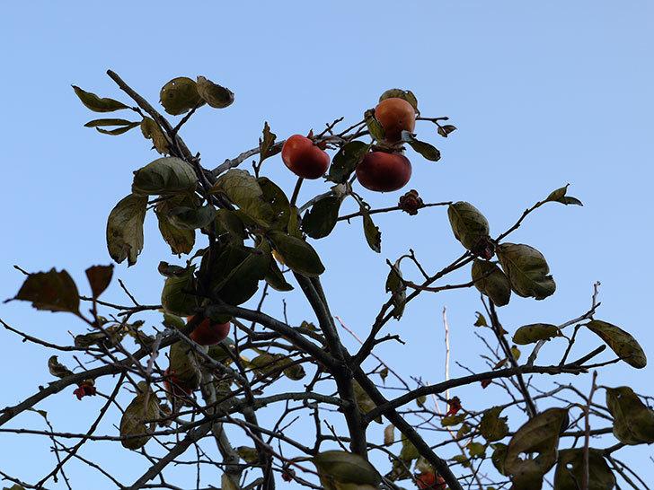 残っていた柿を収穫した。2013年3.jpg