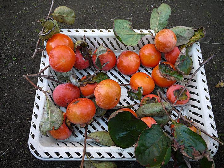 残っていた柿を収穫した。2013年4.jpg