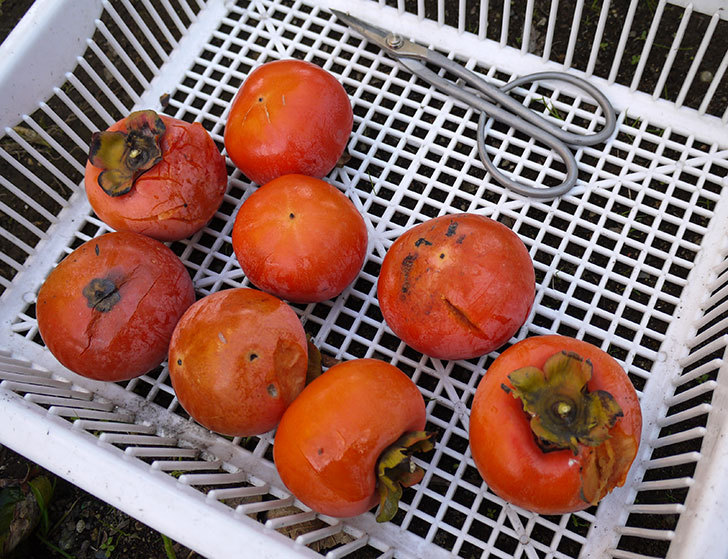残っていた柿を収穫した。2013年5.jpg