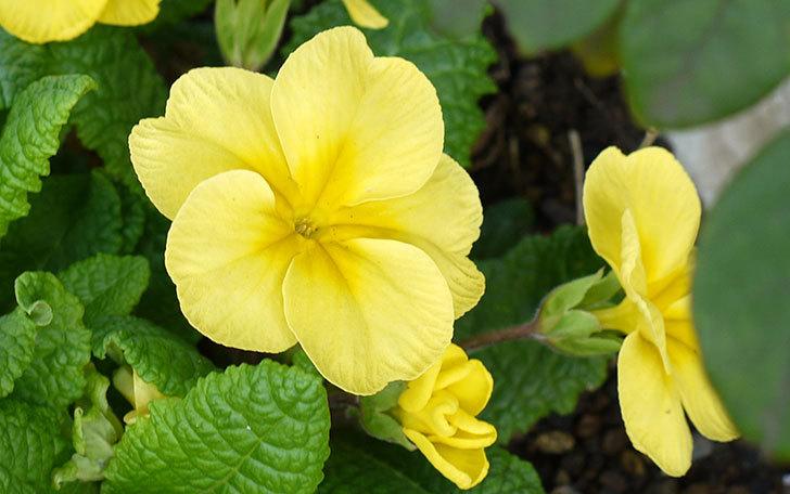 毎年咲くプリムラ・ジュリアンが咲いた7.jpg