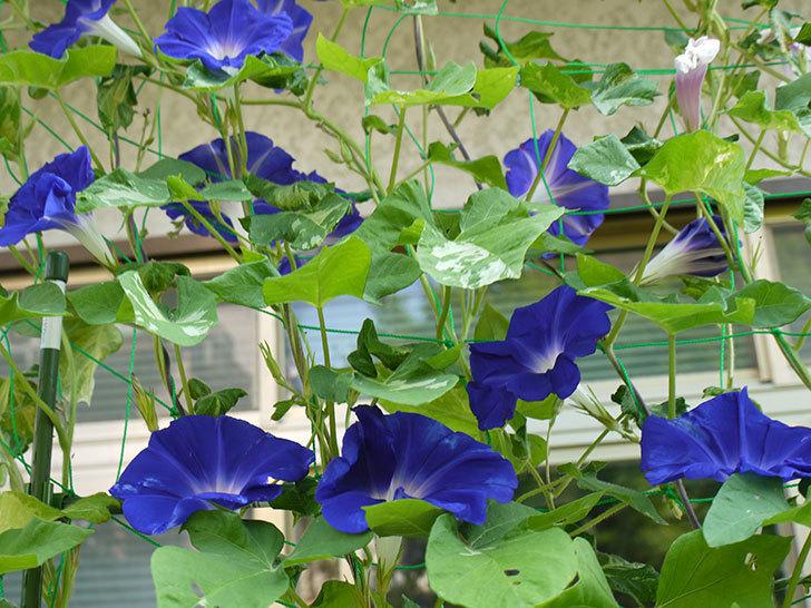 毎朝グリーンカーテンのアサガオがたくさん咲く。2015年-5.jpg