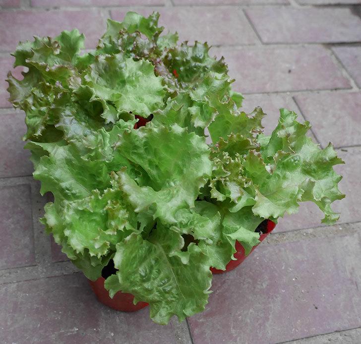 気温が下がってきたのでサニーレタス-レッドファイヤーの苗買って来た。2019年-1.jpg