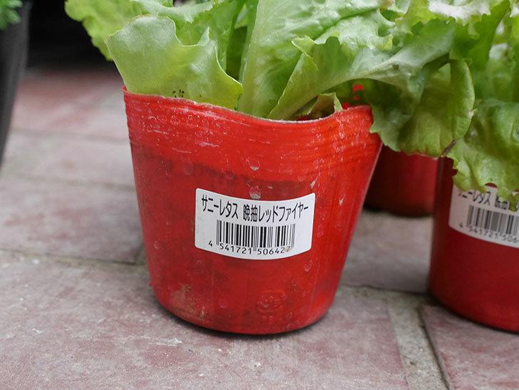 気温が下がってきたのでサニーレタス-レッドファイヤーの苗買って来た。2019年-2.jpg