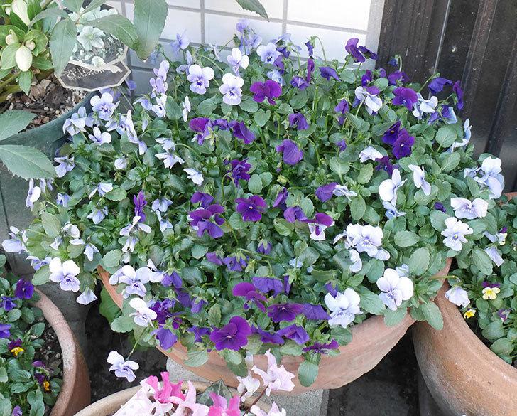 水色と濃い紫のビオラが綺麗に咲いた。2018年-1.jpg