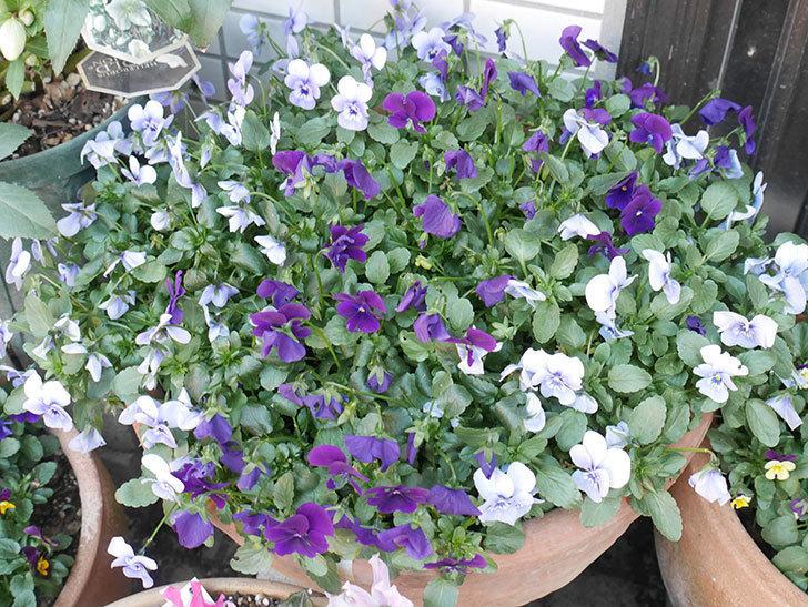 水色と濃い紫のビオラが綺麗に咲いた。2018年-2.jpg