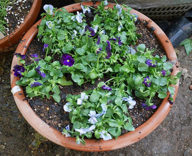 水色と濃い紫のビオラの苗を鉢に植えた。2018年-1.jpg