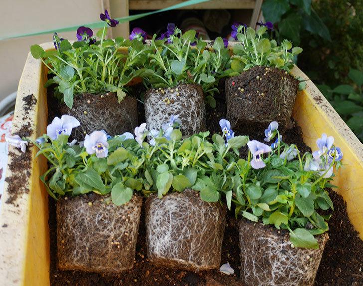 水色と濃い紫のビオラの苗を鉢に植えた。2018年-2.jpg