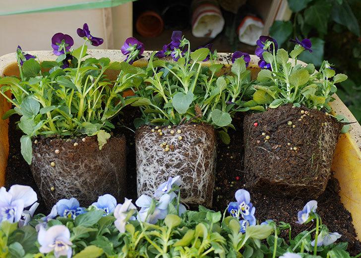 水色と濃い紫のビオラの苗を鉢に植えた。2018年-4.jpg