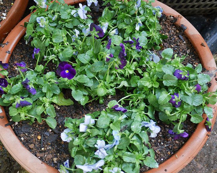 水色と濃い紫のビオラの苗を鉢に植えた。2018年-6.jpg