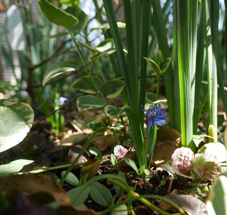 水色のシラー・シベリカの花が咲いた。2019年-7.jpg