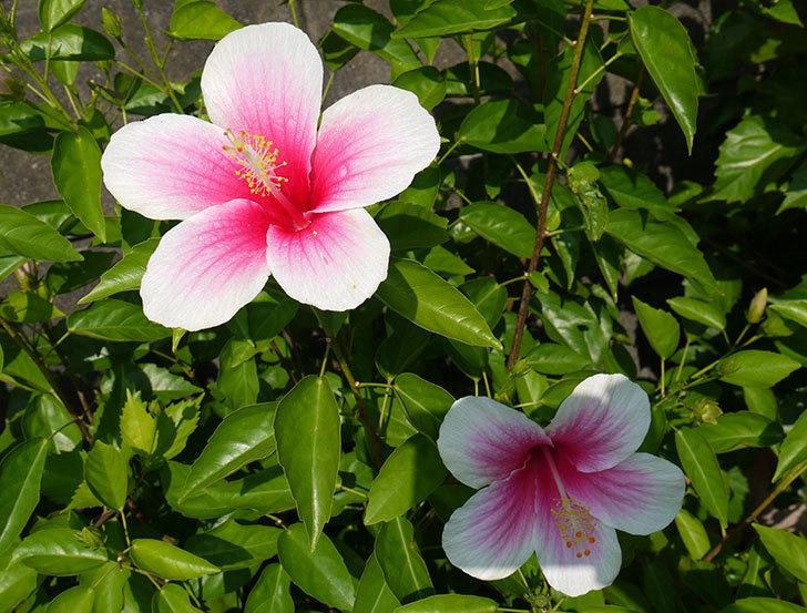 涼しくなってきたのでハイビスカスがたくさん咲き出した。2015年-3.jpg