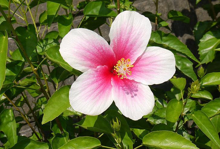 涼しくなってきたのでハイビスカスがたくさん咲き出した。2015年-4.jpg