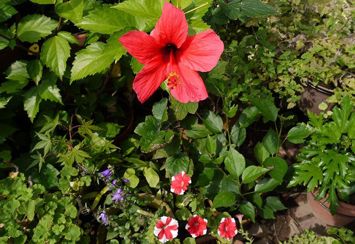 涼しくなってハイビスカスが、また咲き始めた4.jpg