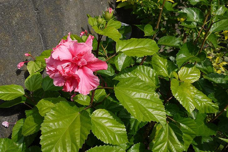 涼しくなってハイビスカスが、また咲き始めた6.jpg