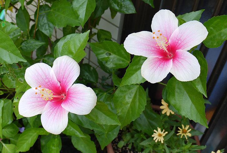 涼しくなってハイビスカスが、また咲き始めた7.jpg