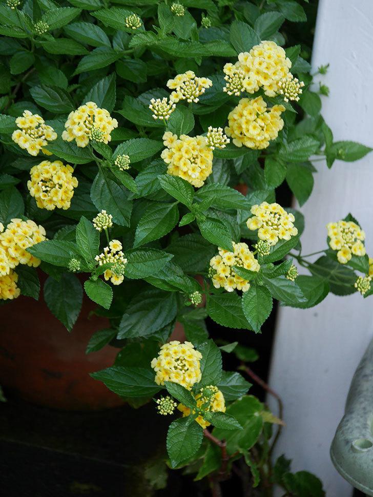 淡い黄色のランタナが咲いた。2020年-001.jpg