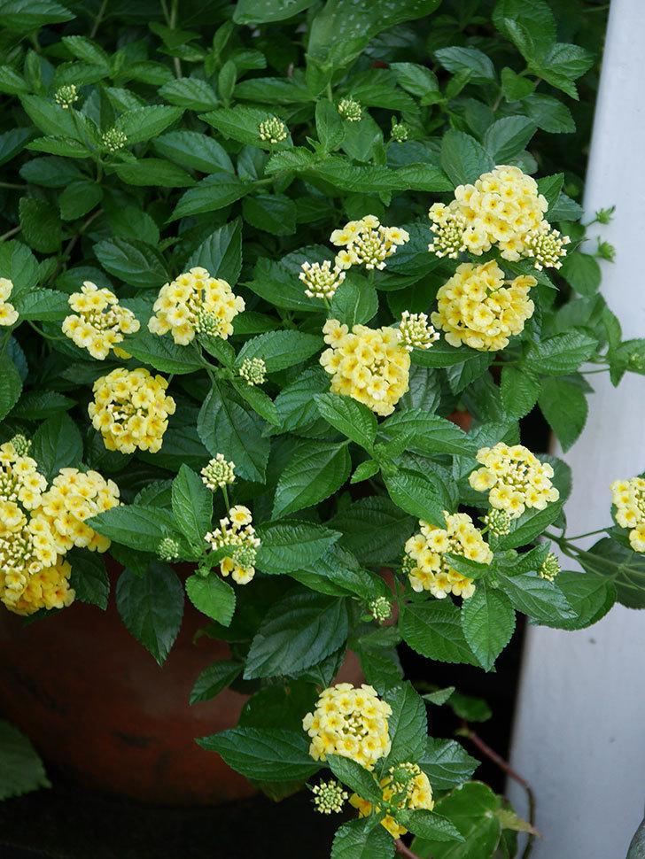 淡い黄色のランタナが咲いた。2020年-002.jpg