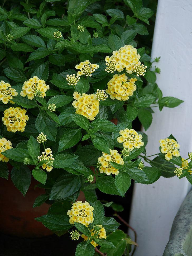 淡い黄色のランタナが咲いた。2020年-004.jpg