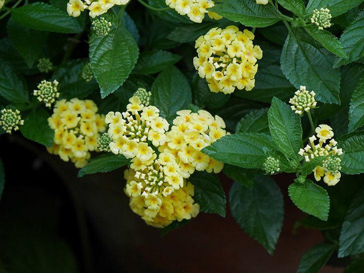 淡い黄色のランタナが咲いた。2020年-005.jpg