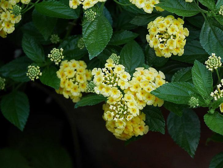 淡い黄色のランタナが咲いた。2020年-006.jpg