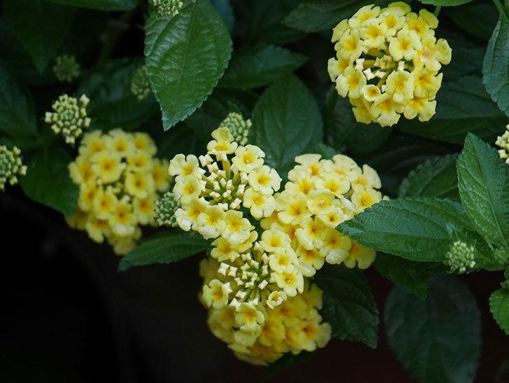 淡い黄色のランタナが咲いた。2020年-007.jpg
