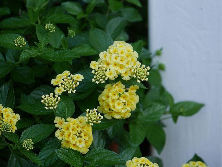 淡い黄色のランタナが咲いた。2020年-008.jpg