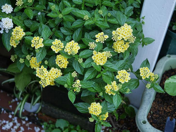 淡い黄色のランタナが咲いた。2020年-009.jpg