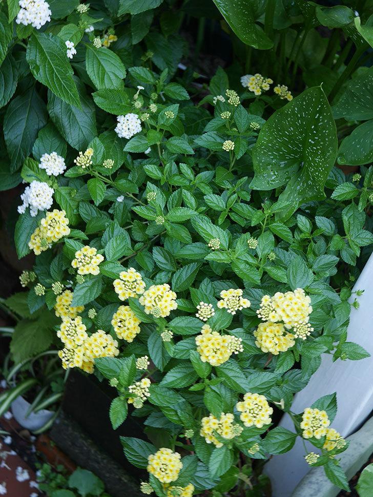 淡い黄色のランタナが咲いた。2020年-011.jpg