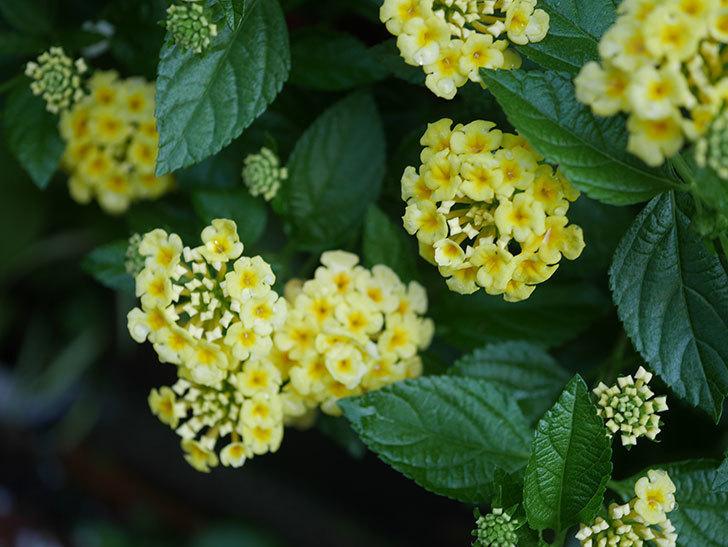 淡い黄色のランタナが咲いた。2020年-012.jpg