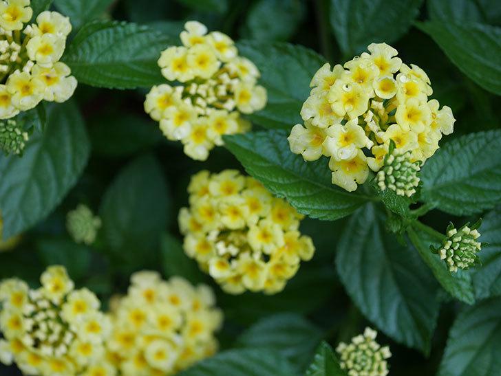 淡い黄色のランタナが咲いた。2020年-014.jpg