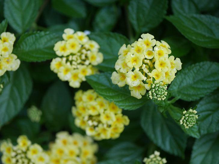 淡い黄色のランタナが咲いた。2020年-015.jpg