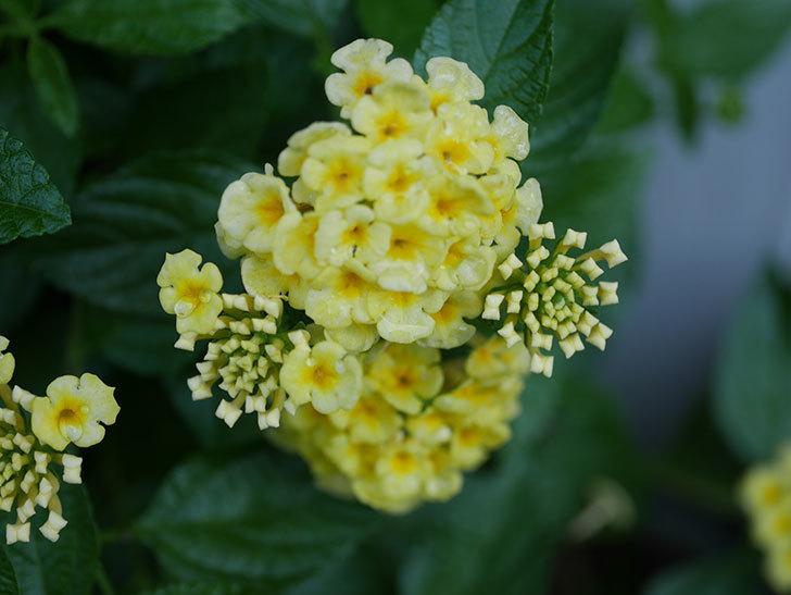 淡い黄色のランタナが咲いた。2020年-016.jpg