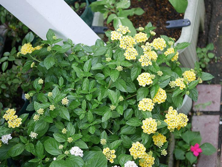 淡い黄色のランタナが咲いた。2020年-017.jpg