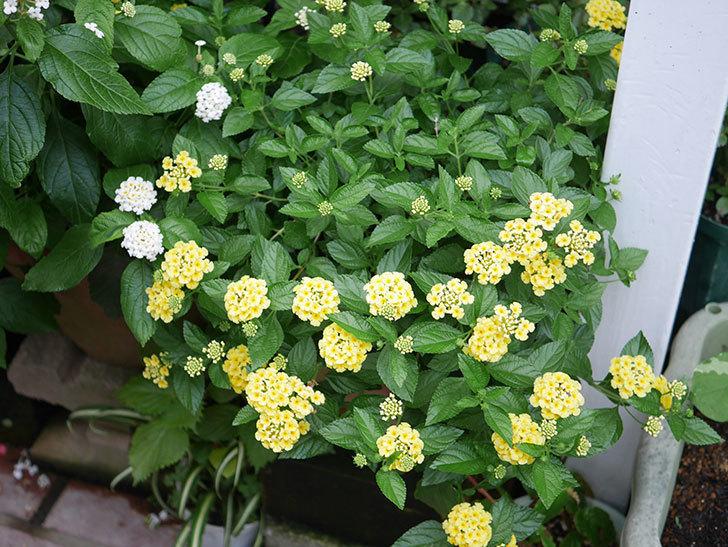 淡い黄色のランタナが咲いた。2020年-018.jpg