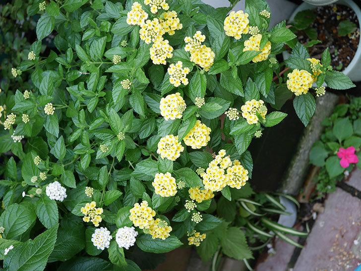 淡い黄色のランタナが咲いた。2020年-019.jpg