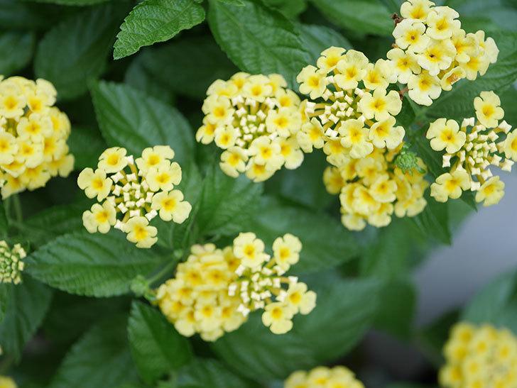淡い黄色のランタナが咲いた。2020年-020.jpg