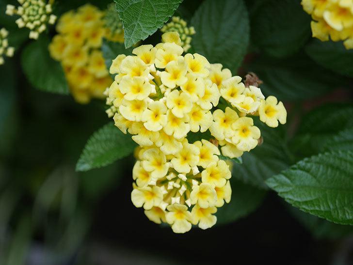 淡い黄色のランタナが咲いた。2020年-021.jpg