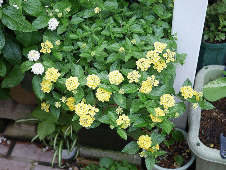 淡い黄色のランタナが咲いた。2020年-022.jpg