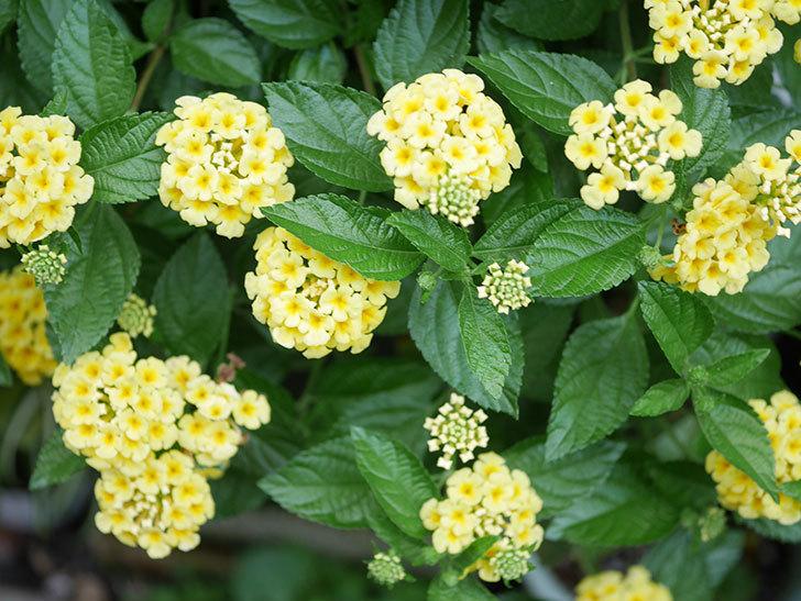 淡い黄色のランタナが咲いた。2020年-023.jpg