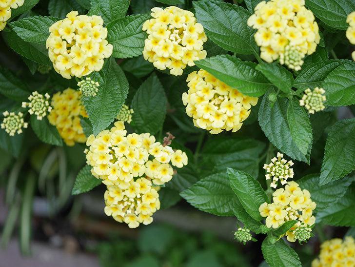 淡い黄色のランタナが咲いた。2020年-024.jpg