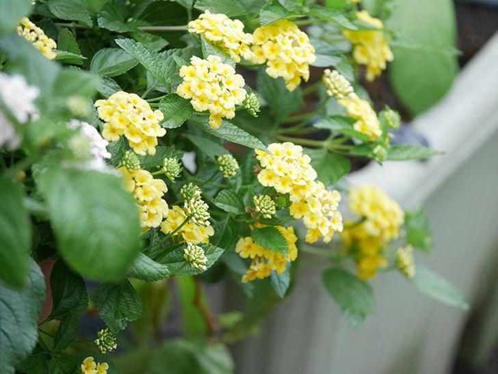 淡い黄色のランタナが咲いた。2020年-025.jpg