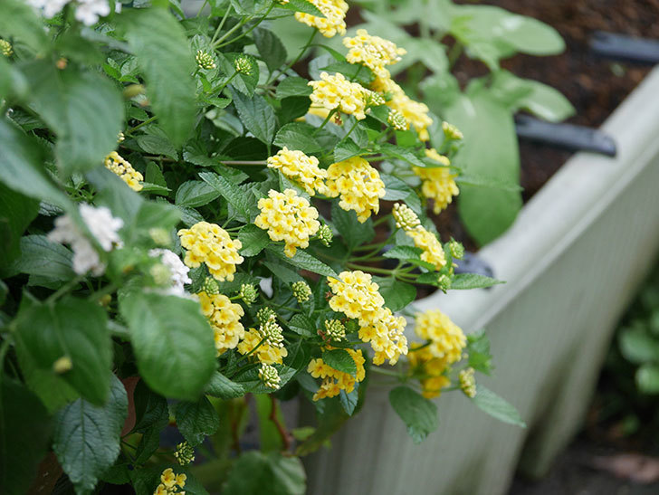 淡い黄色のランタナが咲いた。2020年-026.jpg