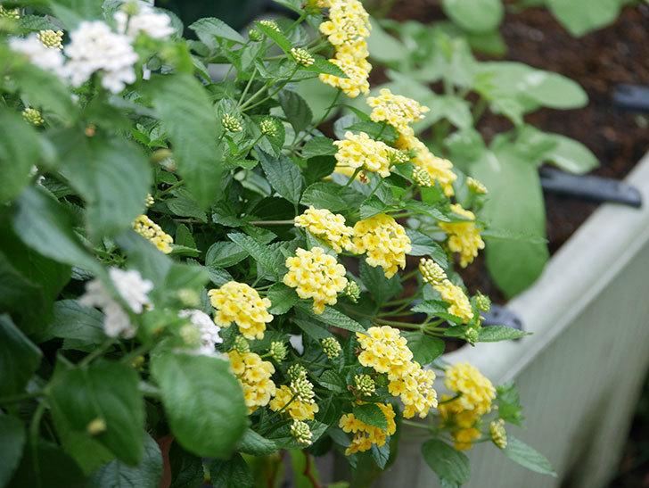 淡い黄色のランタナが咲いた。2020年-027.jpg