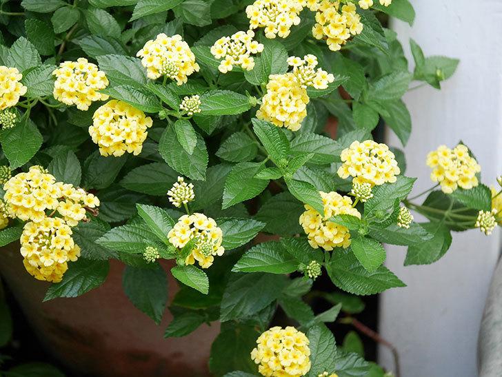 淡い黄色のランタナが咲いた。2020年-029.jpg
