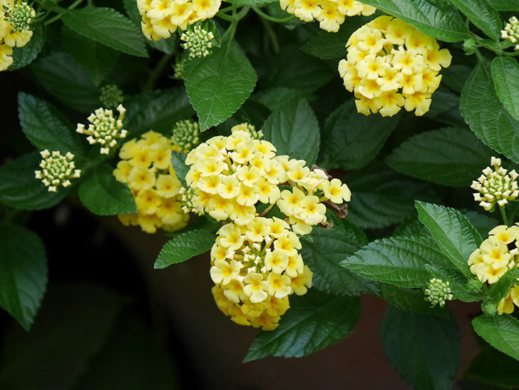 淡い黄色のランタナが咲いた。2020年-030.jpg
