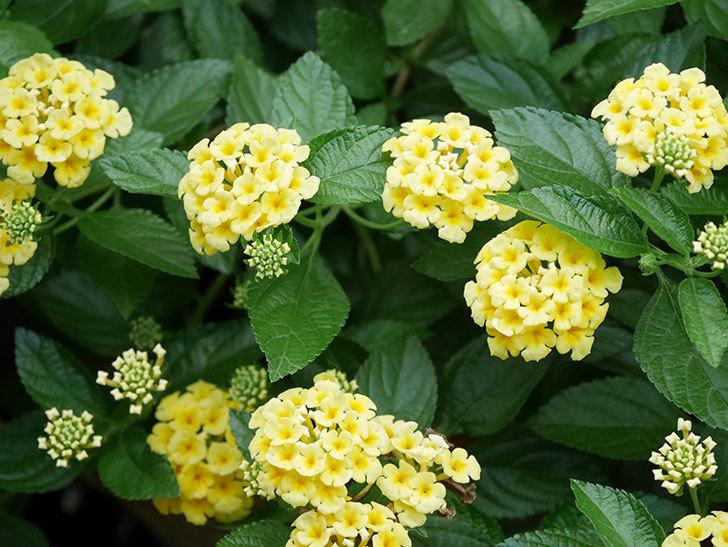 淡い黄色のランタナが咲いた。2020年-031.jpg