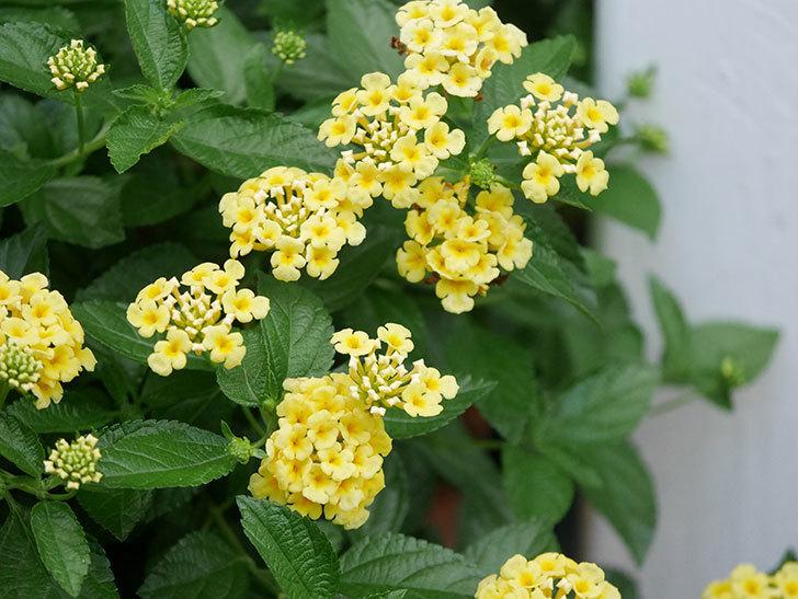 淡い黄色のランタナが咲いた。2020年-033.jpg
