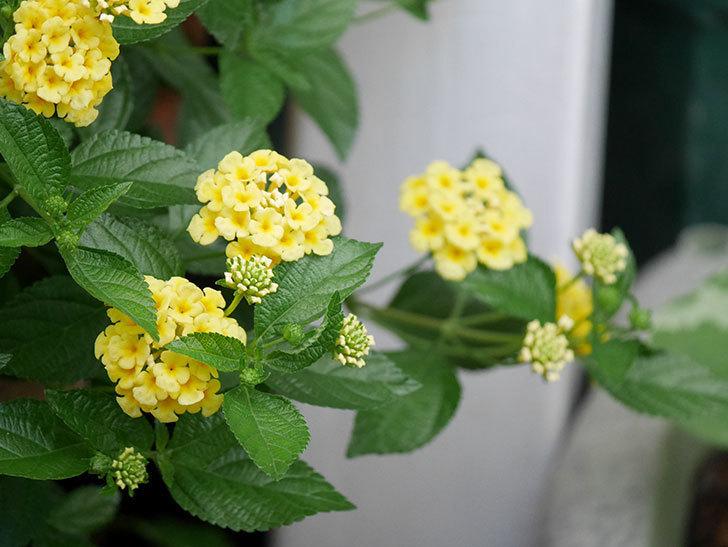 淡い黄色のランタナが咲いた。2020年-034.jpg