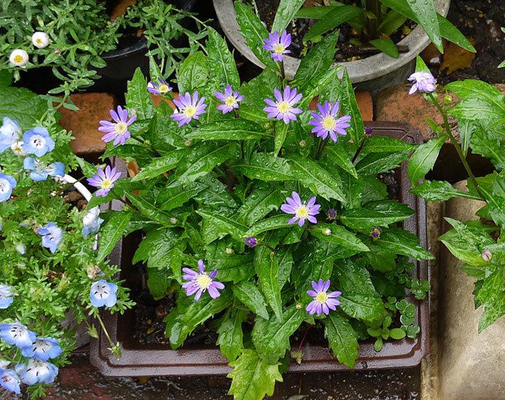 濃いめの紫のミヤコワスレ(ノシュンギク)の花が咲いた。2015年-1.jpg